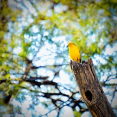 With a group of small yellow birds guarding our tents